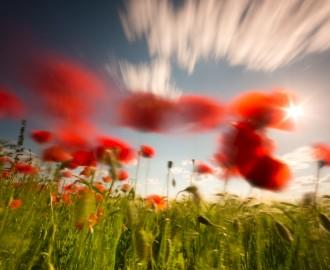 Mohnblüte und wolkenloser Himmel,nah fotografiert,Blüte weit ausgebreitet
